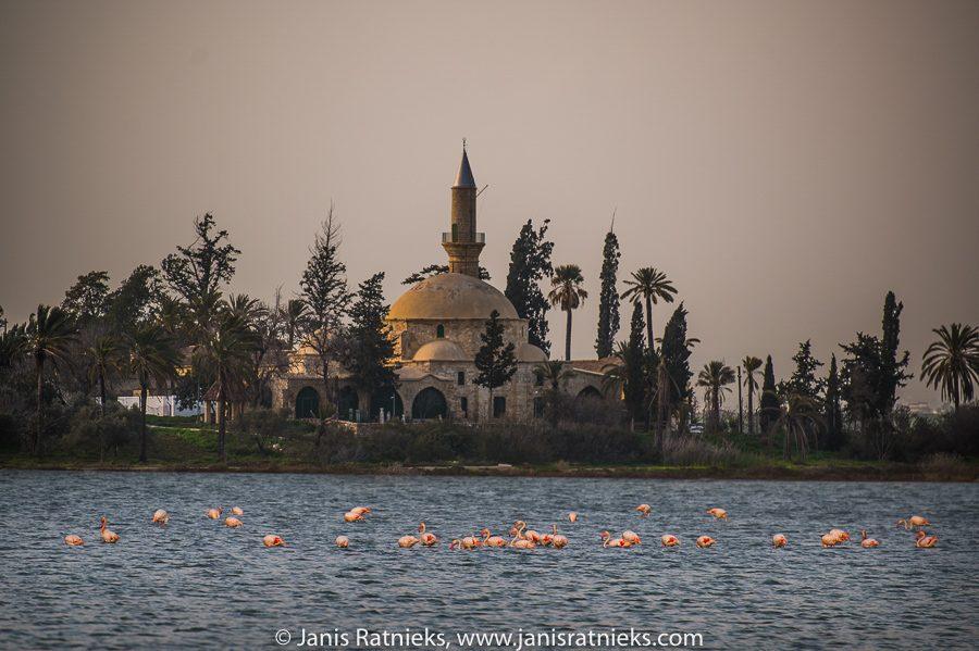 Larnaca flamingos