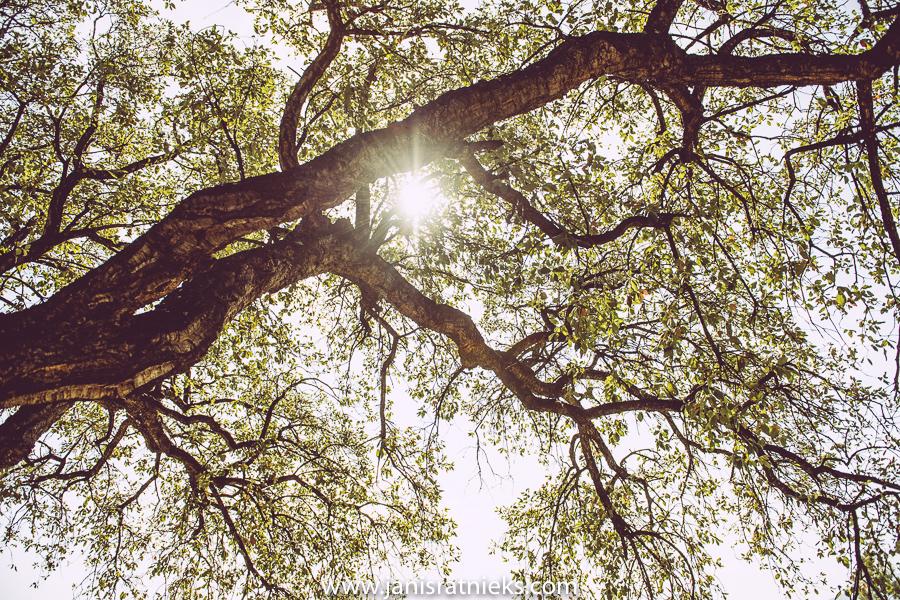 olive tree france