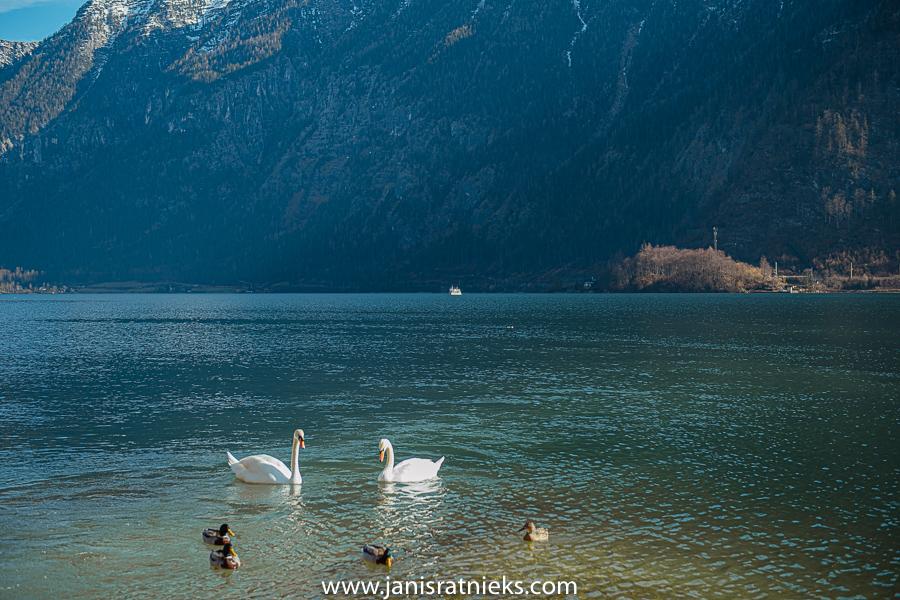 swans hallstatt